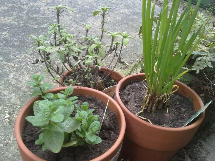 Applemint and Welsh Onion