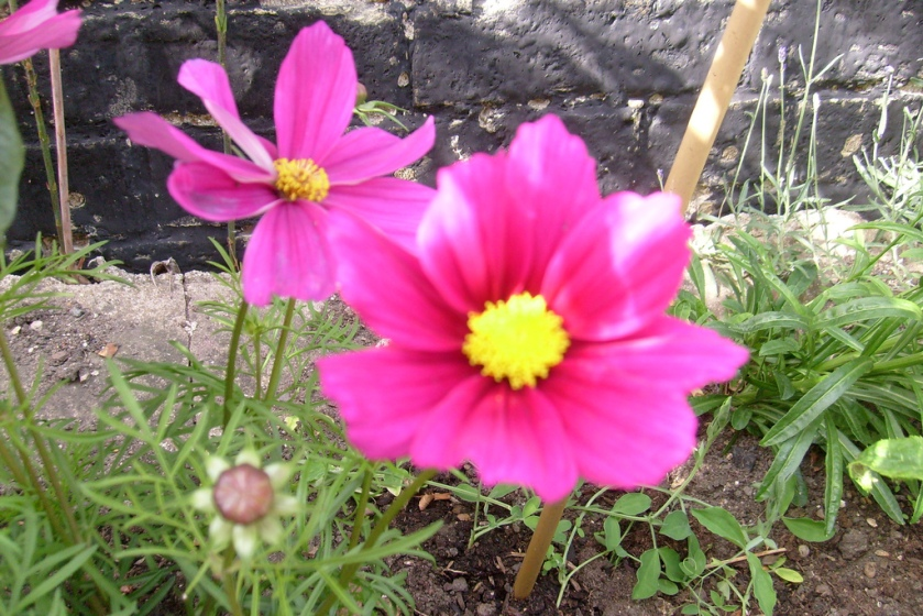 cosmos-on-flower
