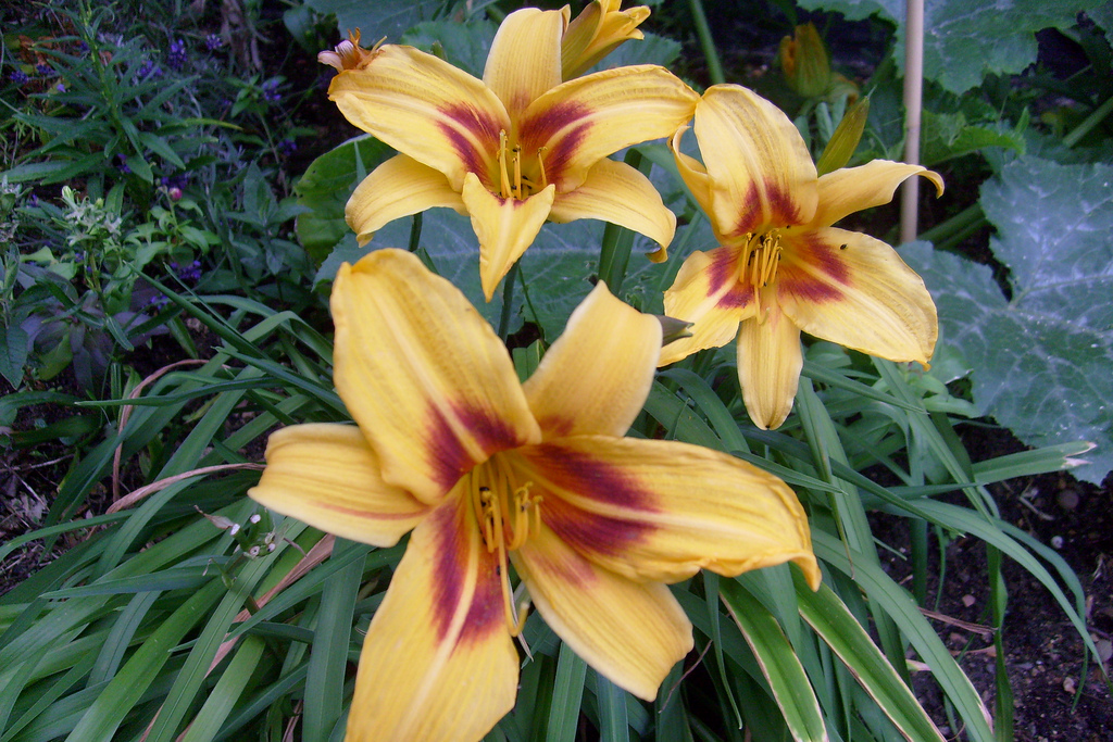A yellow daylily on flower.