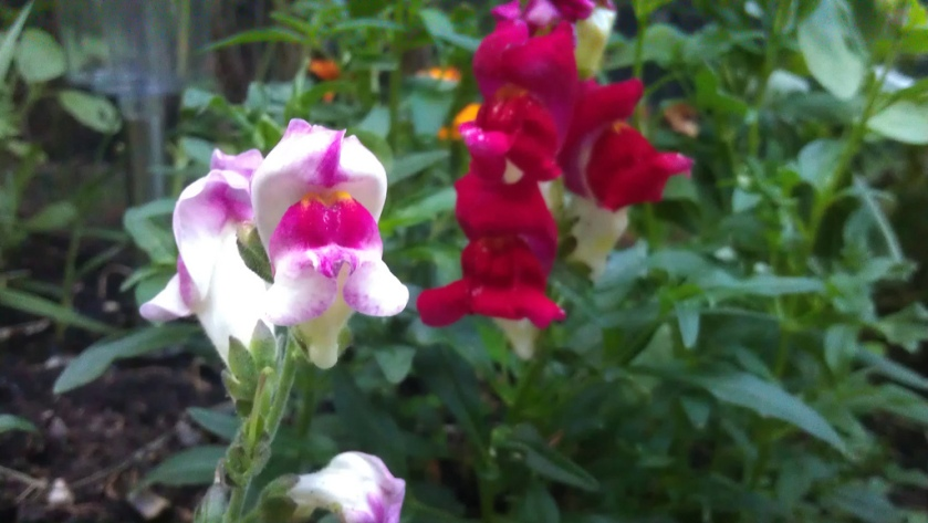 antirrhinum-chuckles-on-flower