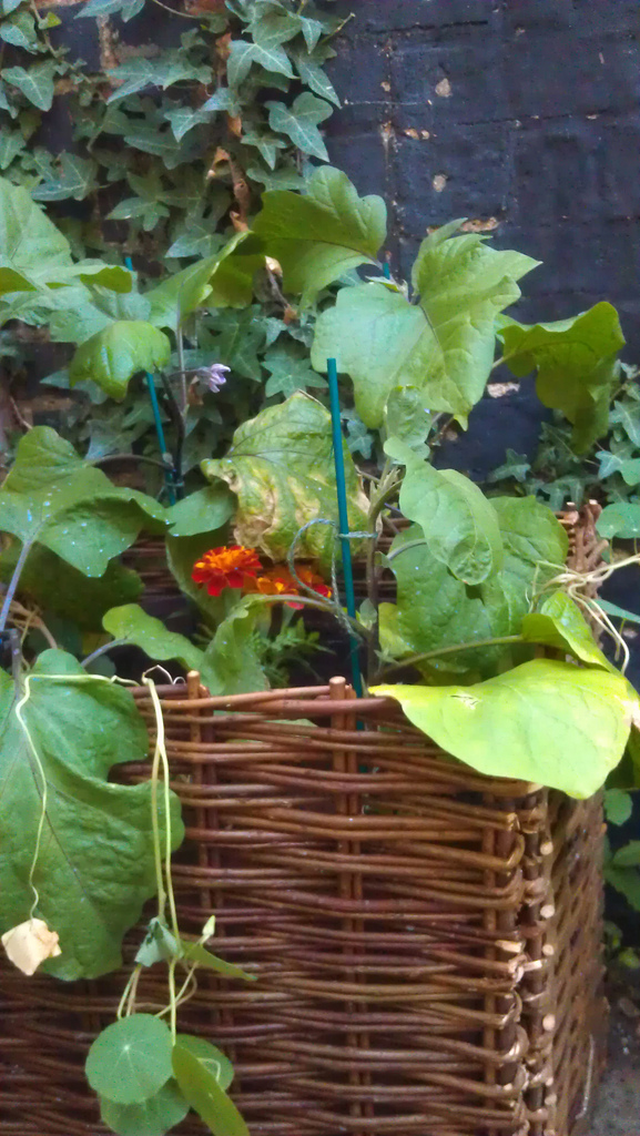 Aubergine and Nasturtium plants in a wicker basket.