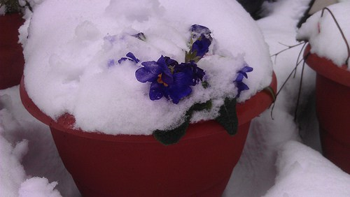 Blue Polyanthus flowers peek out from the snow.