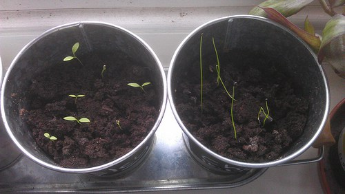 Parsley and Chive seedlings