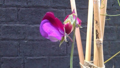 The Sweet Peas feel a pinch of success