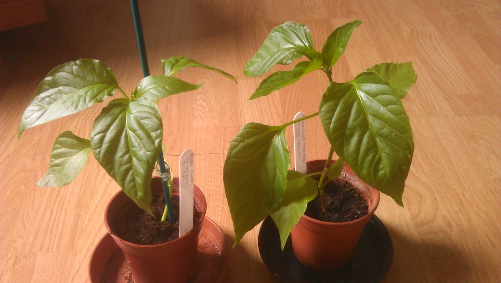 Pepper (Sweet) 'Friggitello' plants