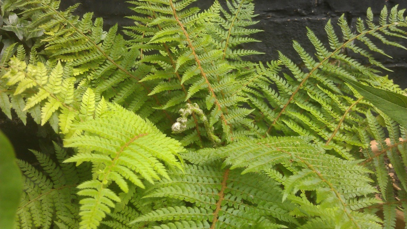 The uncurling fronds of a lush green fern.