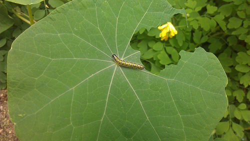 A caterpillar eating a Nasturtium leaf