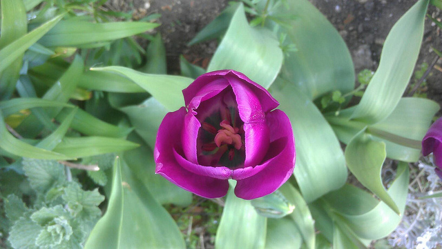 The tulips begin to bloom and the propagator is full of new life
