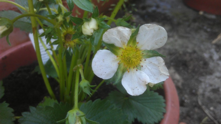 Strawberry 'Elsanta'