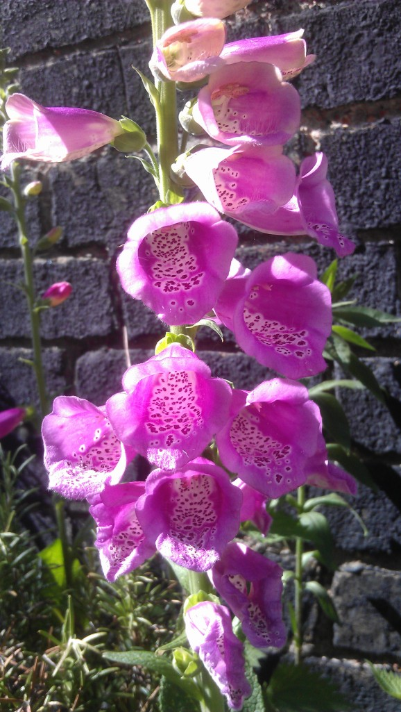 Foxglove 'Excelsior Hybrids Mixed'