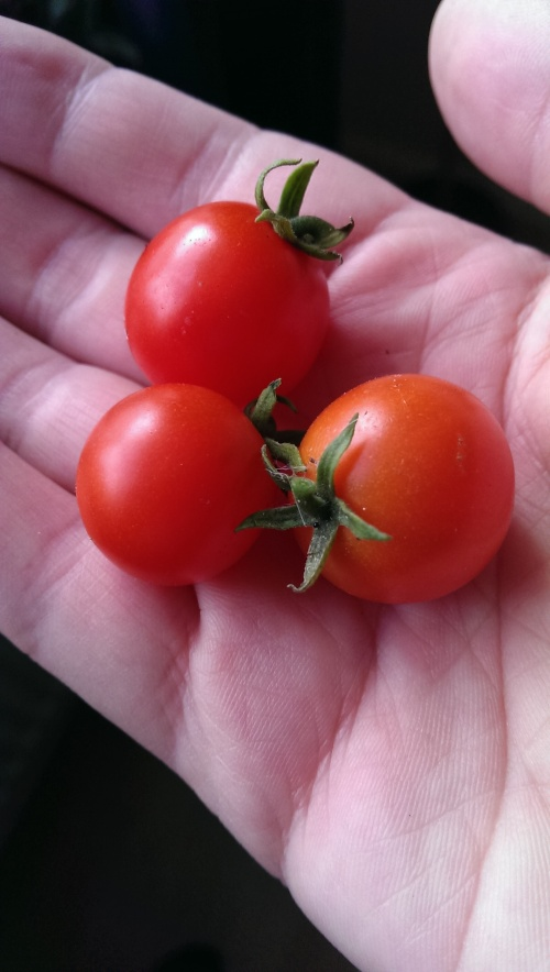 Three Tomato Minibel fruits.