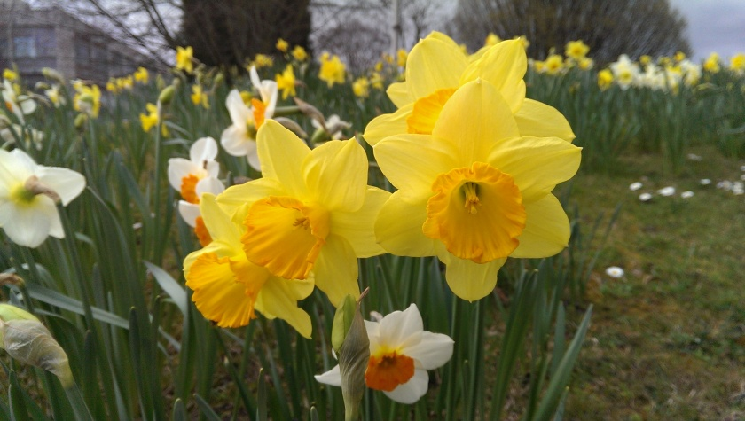 Daffodils in Cambridge