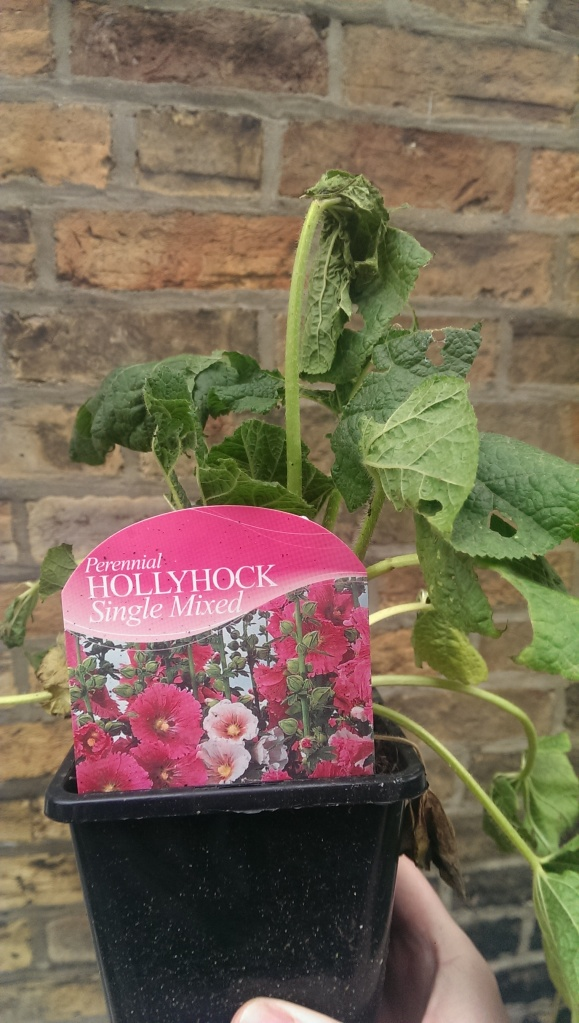 Hollyhock Single Mixed - snail battered
