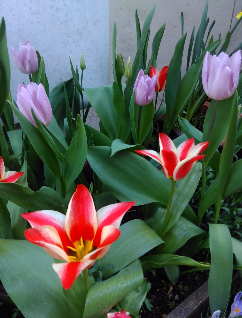 Red and lilac tulips on flower.