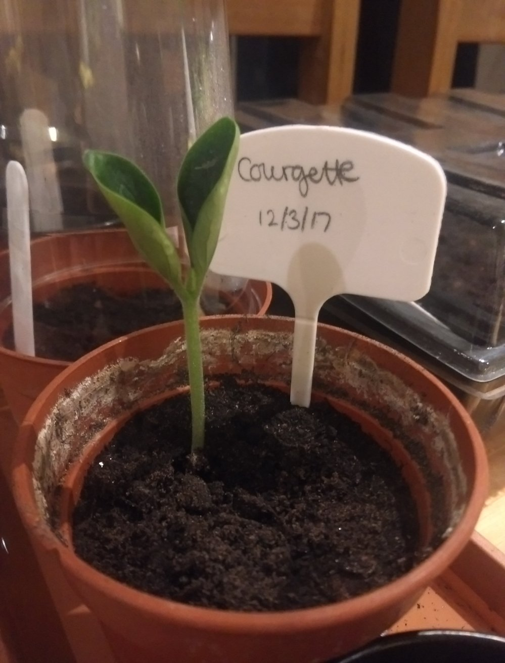 Courgette seedling in pot