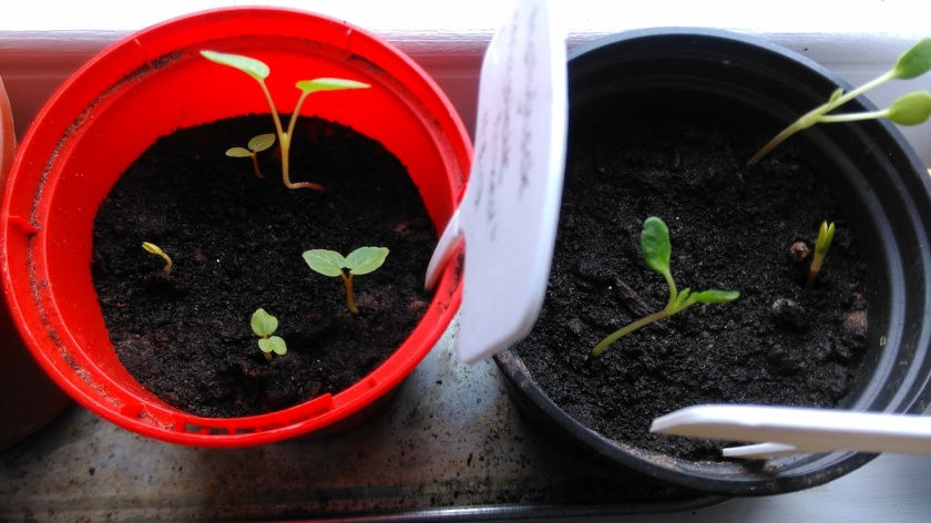 Hollyhock and Lupin seedlings in pots.