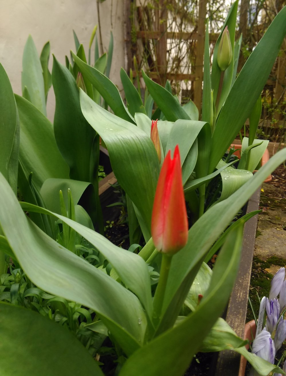 Red Tulips on bud