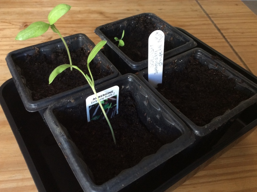 Aubergine and Squash seedlings