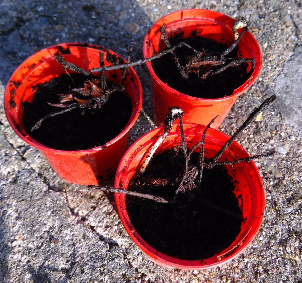 The bare-root Strawberry Elsanta plants potted up and ready for sunshine.