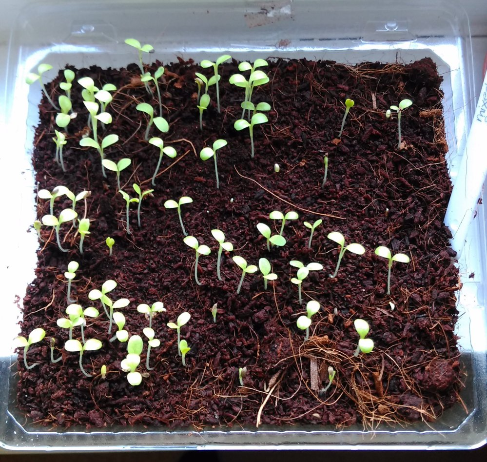 Salad leaf seedlings in a tray