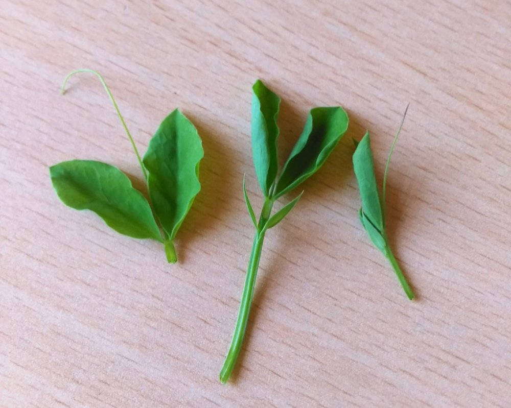 The 'pinched out' Sweet Pea 'Royal Mixed' growth tips.