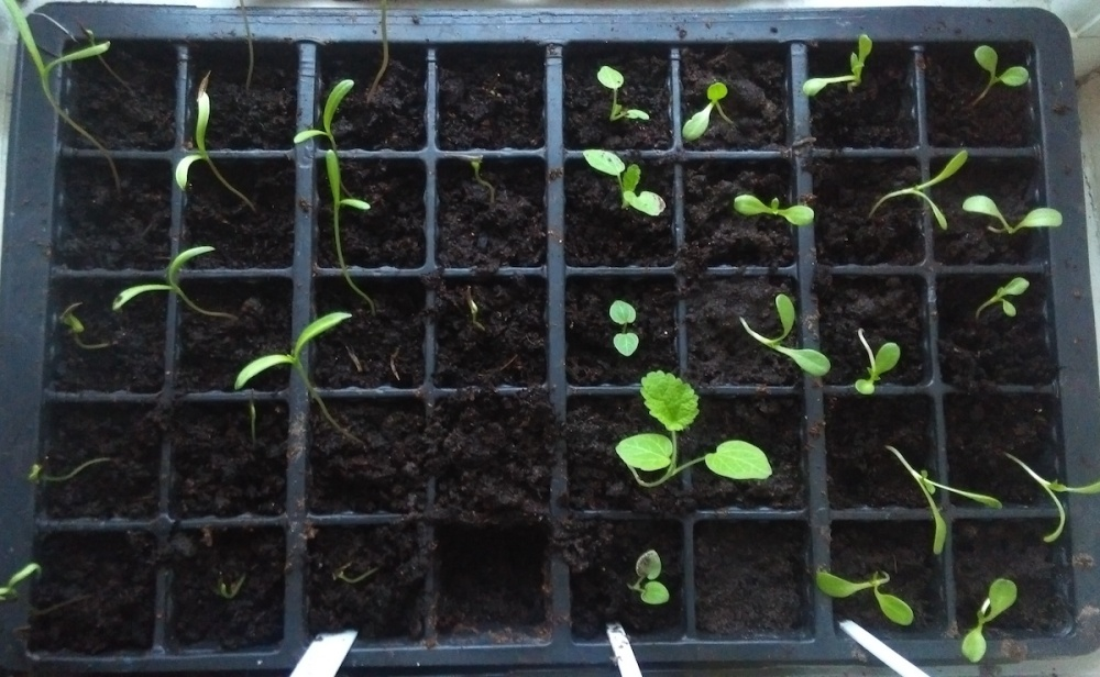 Tray of pricked-out Cosmos, Hollyhock, and Sweet Sultan seedlings.