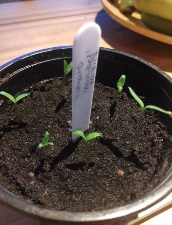 Tomato 'Minibel' seedlings
