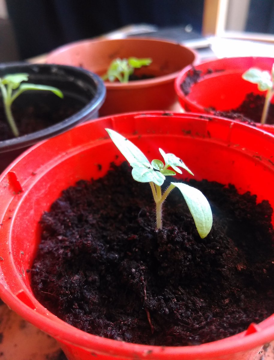 Tomato 'Minibel' seedlings in their new pots.