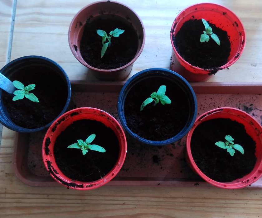 The potted-on Tomato 'Minibel' seedlings.