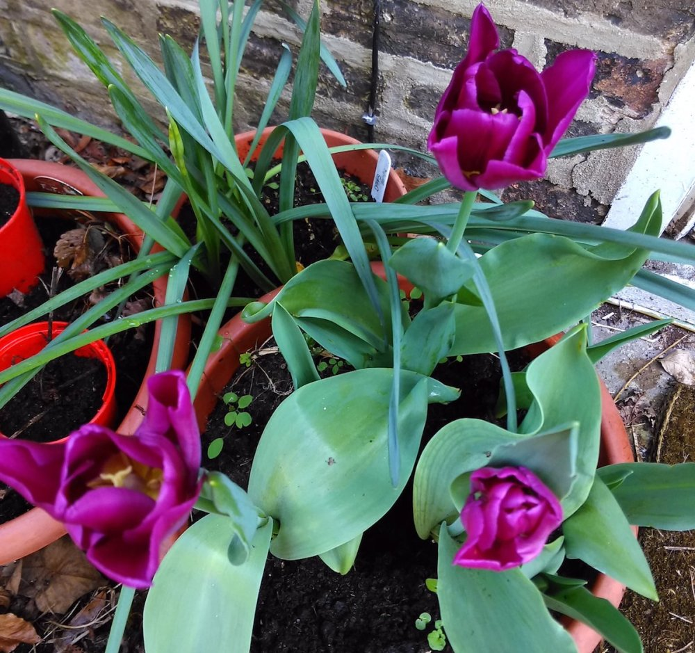 Tulip 'Triumph' purple flowers