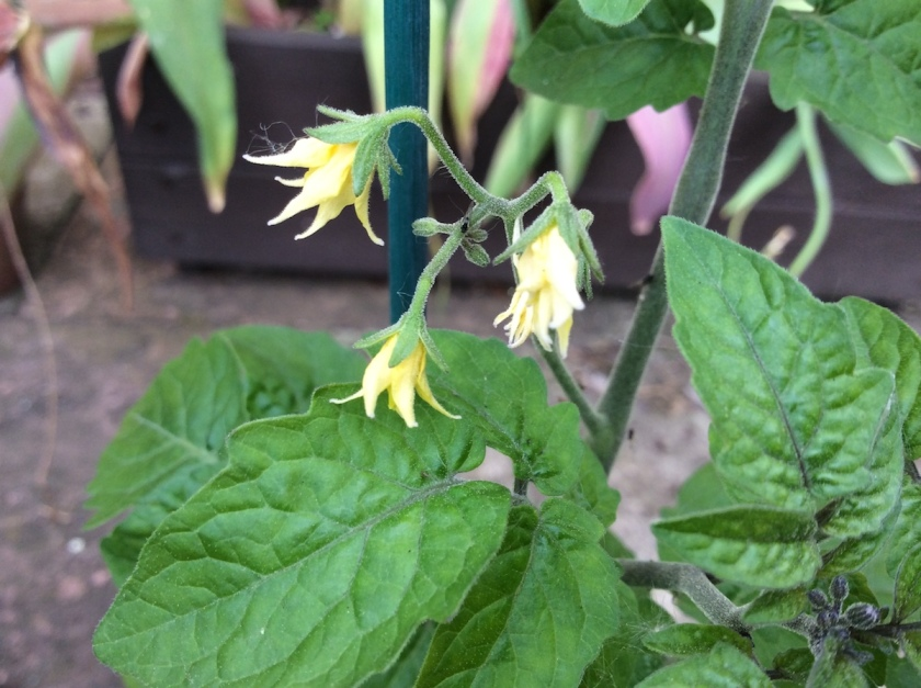Blackfly on Tomato 'Minibel' plants