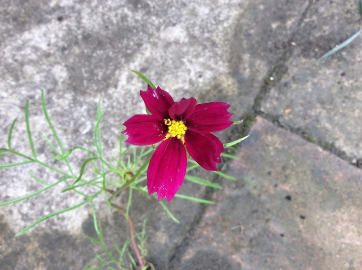 Cosmos 'Seashells Mixed' on flower