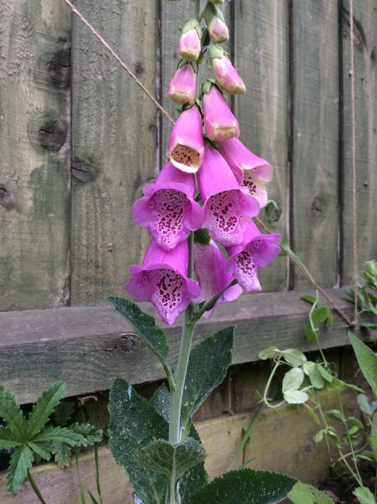 A pink Foxglove 'Excelsior Hybrid Mixed' on flower