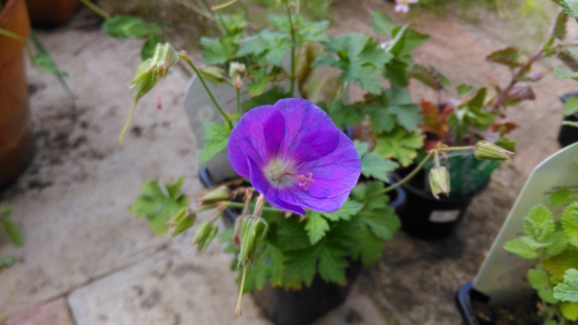 A Geranium 'Himalayense' on flower.
