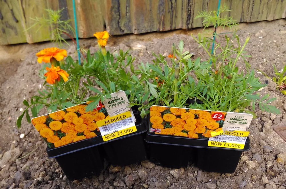 Marigold French Orange plants from Tesco.