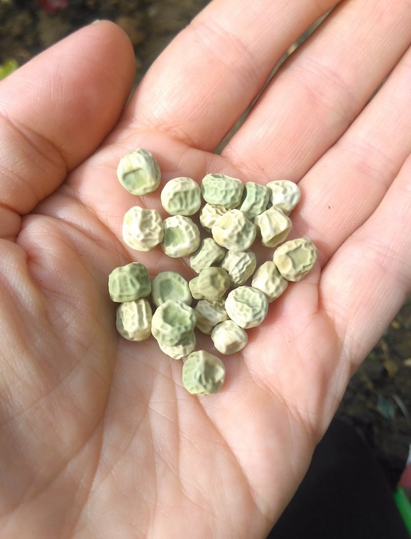 A handful of Pea 'Alderman' seeds.
