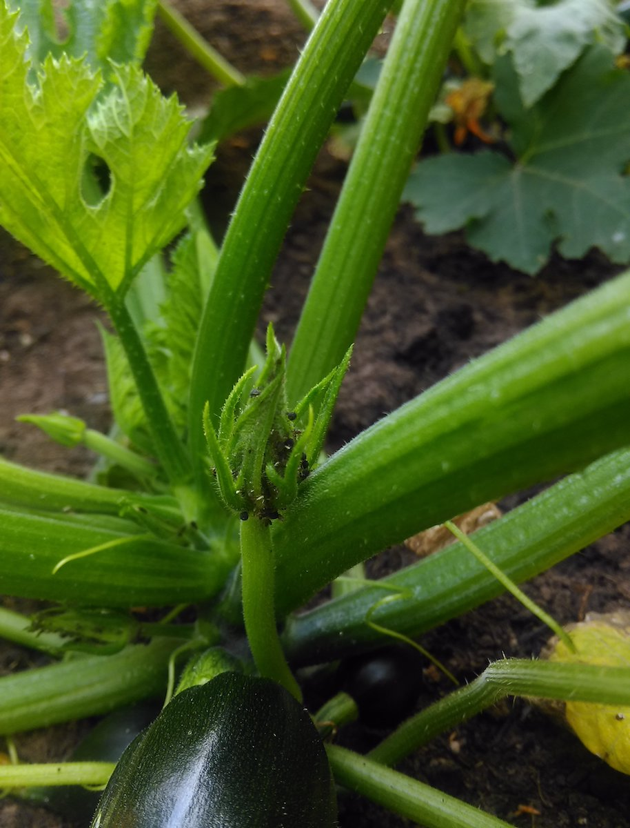 courgette flower buds with blackfly