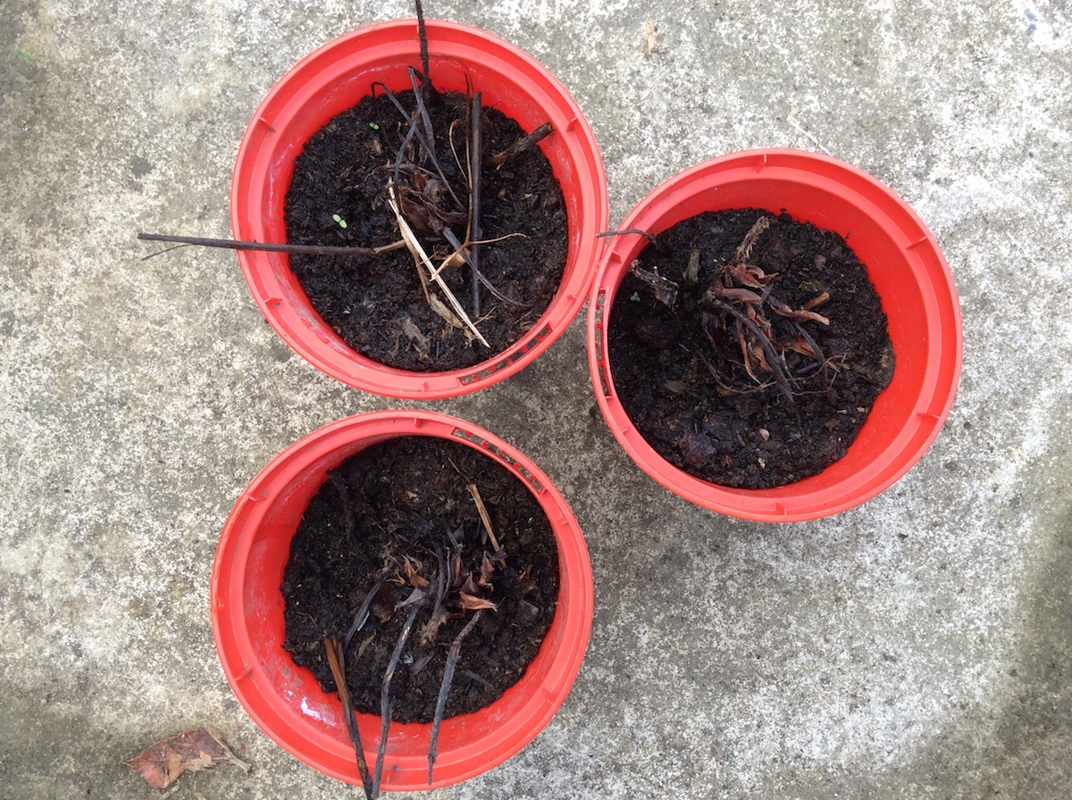 dead bare-root strawberry plants