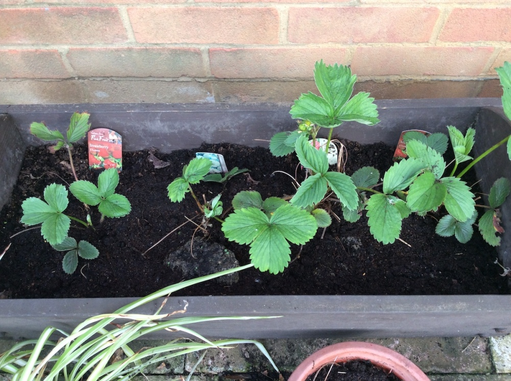 Strawberry plants in a patio planter