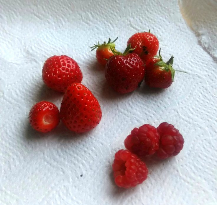 first strawberry and raspberry harvest of 2017