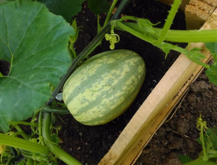 The largest Squash 'Spaghetti Stripetti' a few weeks ago.