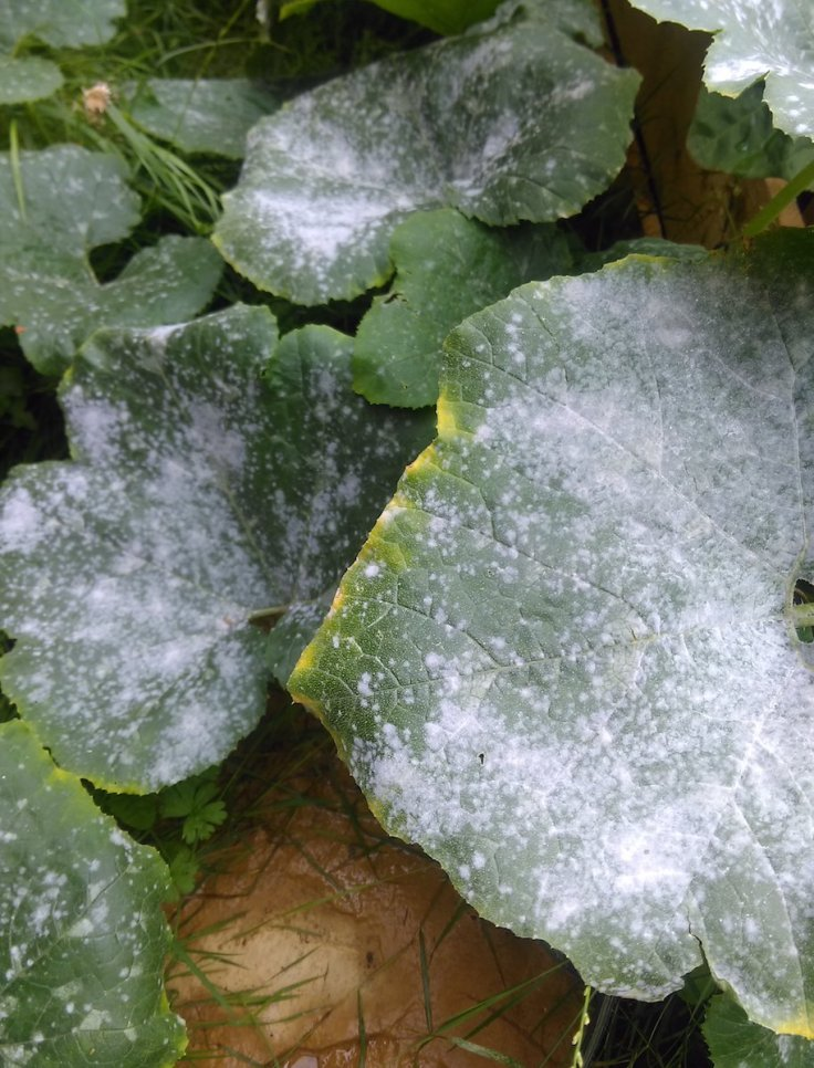 Mildew on Squash and Courgette plant leaves.