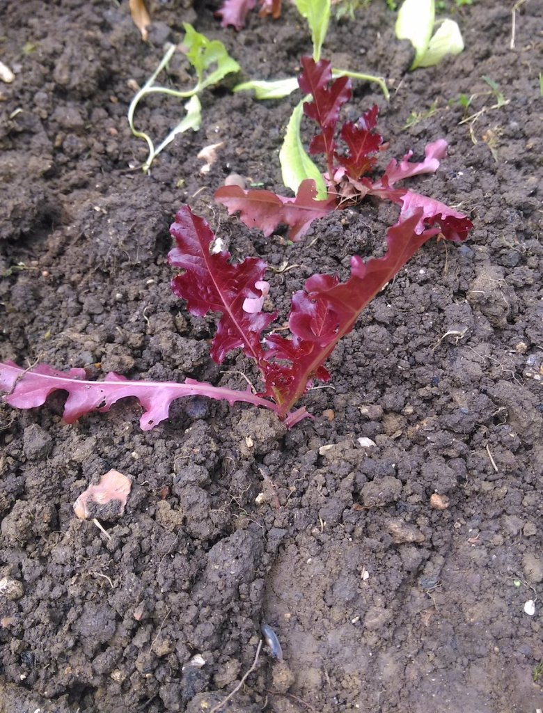 A red leaf lettuce planted out.
