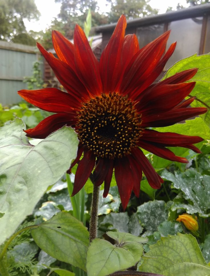 a red Sunflower Helianthus Annus 'Autumn Time'