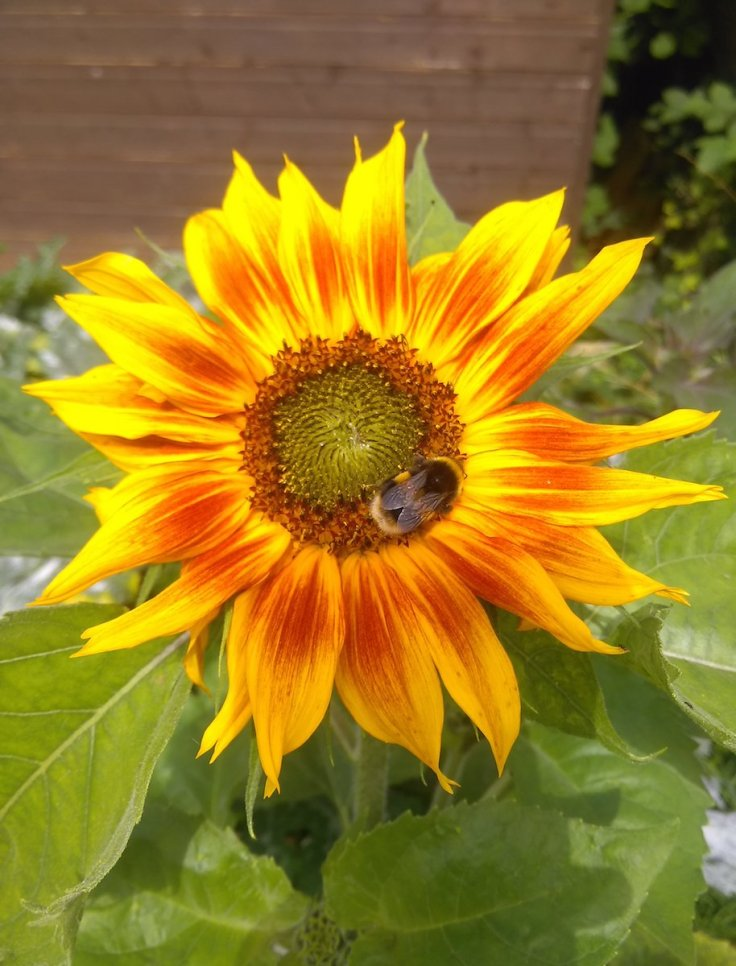 Sunflower Helianthus Annus 'Autumn Time' with a bee.