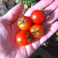 The Minibel Tomatoes begin to ring in the harvest but the Squash comes under attack