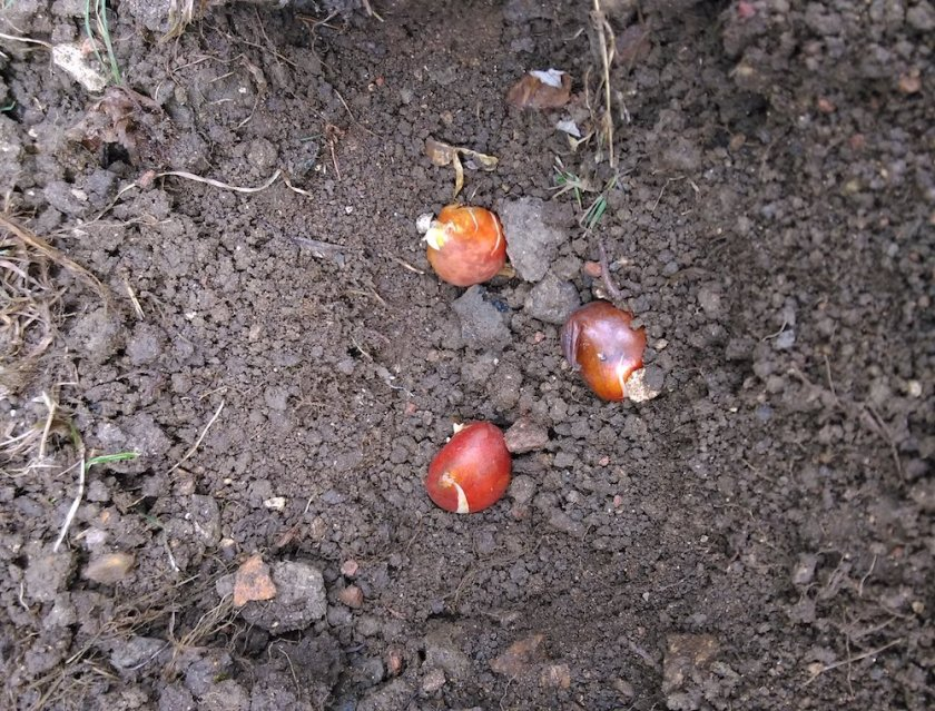 bulbs planted in ground