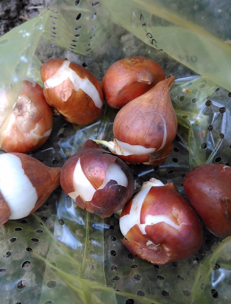 Tulip bulbs in a bag