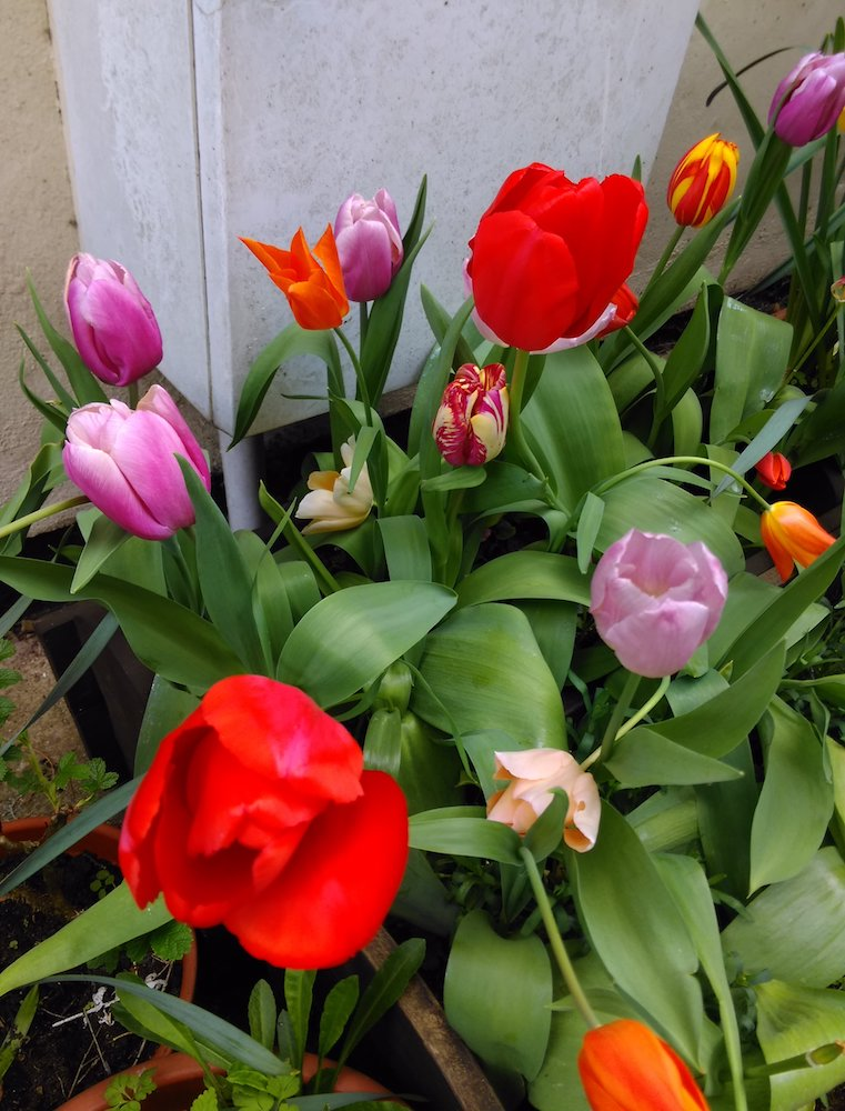 tulips on flower