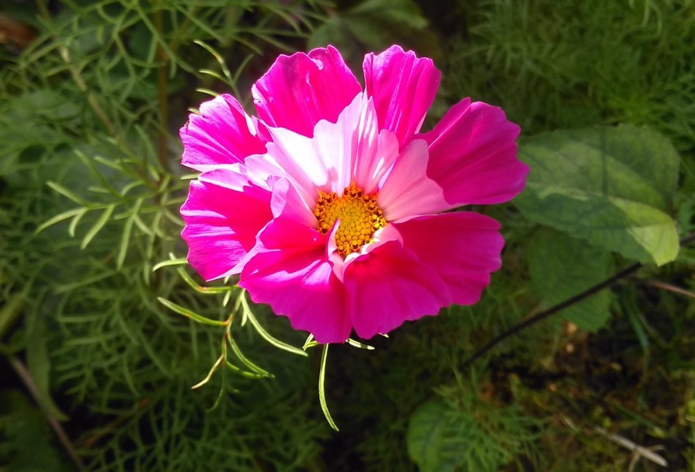 Pink Cosmos 'Seashells Mixed' flower in sunshine